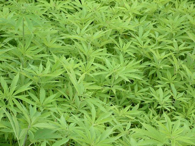 自生 北海道 大麻