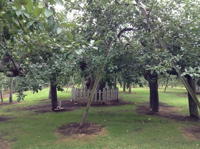 一体いつ誕生したのか?青森県には、日本最古のりんごの樹があるぞ!
