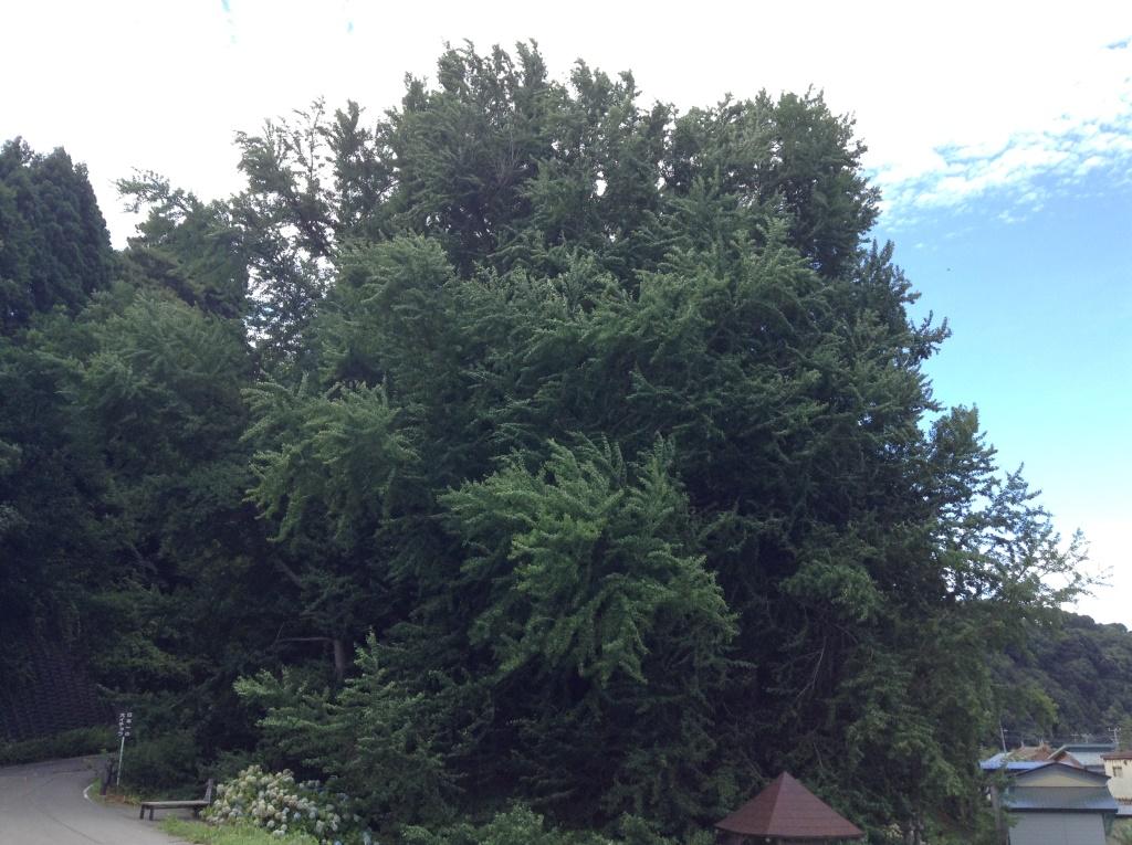 日本一大きなイチョウの木が青森県に、北金ヶ沢のイチョウ!