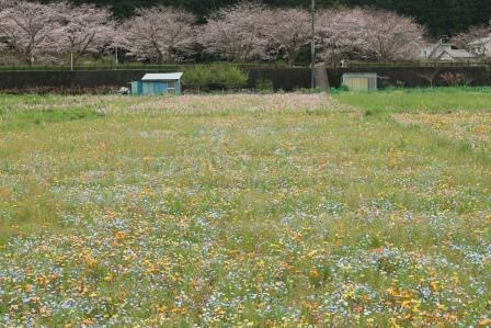 田んぼが花畑に早変わり!静岡県松崎町は隠れた花の都だった!