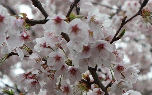 桜の標本木