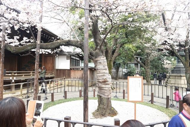 東京の開花宣言の基となる桜の標本木は、靖国神社にあった!